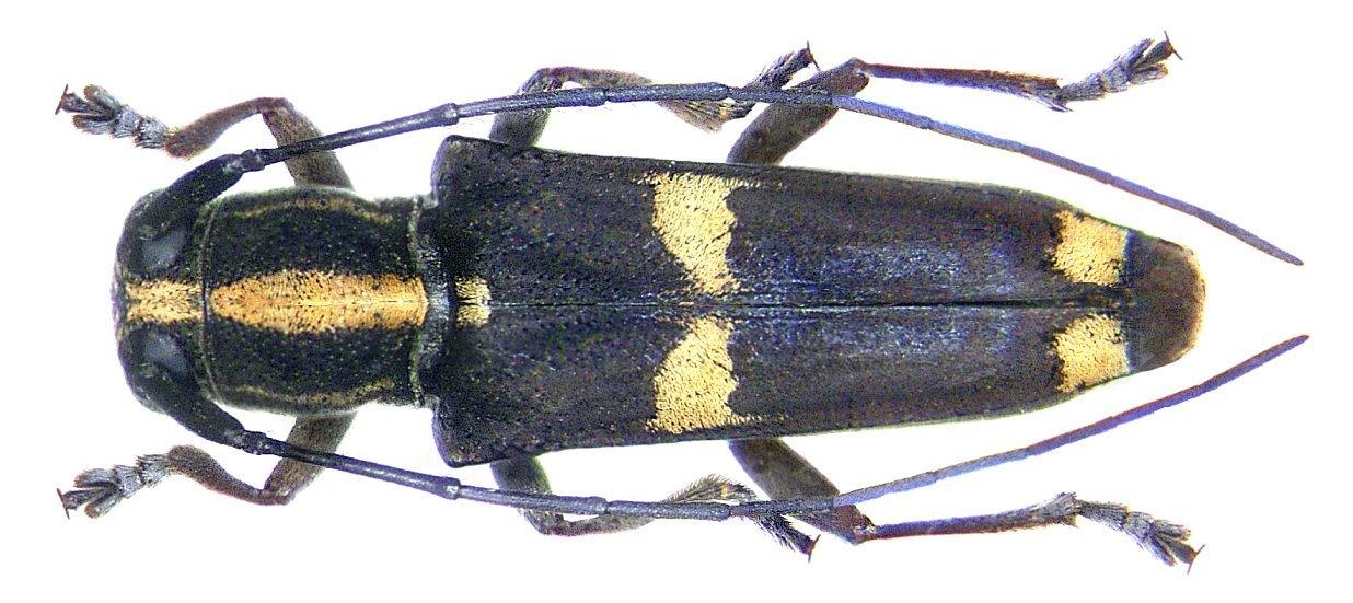 Image of <i>Glenea papuensis</i> Gahan 1897