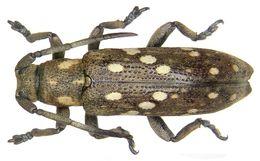 Image of <i>Apomecyna papuana</i> Breuning 1943