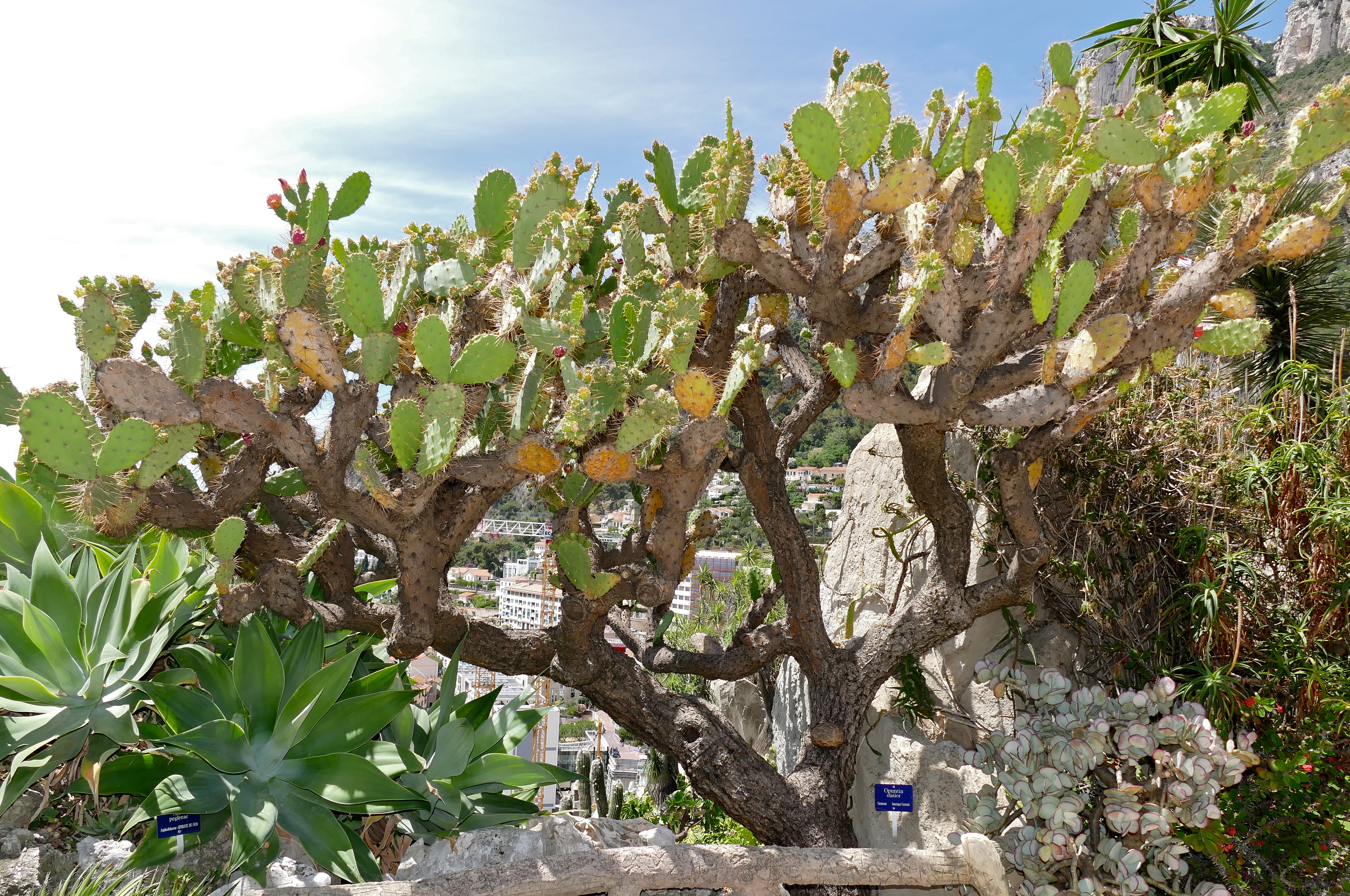Image of French Prickle Cactus