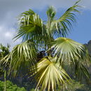 Image of thatch palm