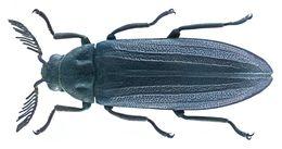 Image of <i>Callirhipis tonkinea</i>