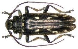 Image of <i>Tmesisternopsis pauli</i>