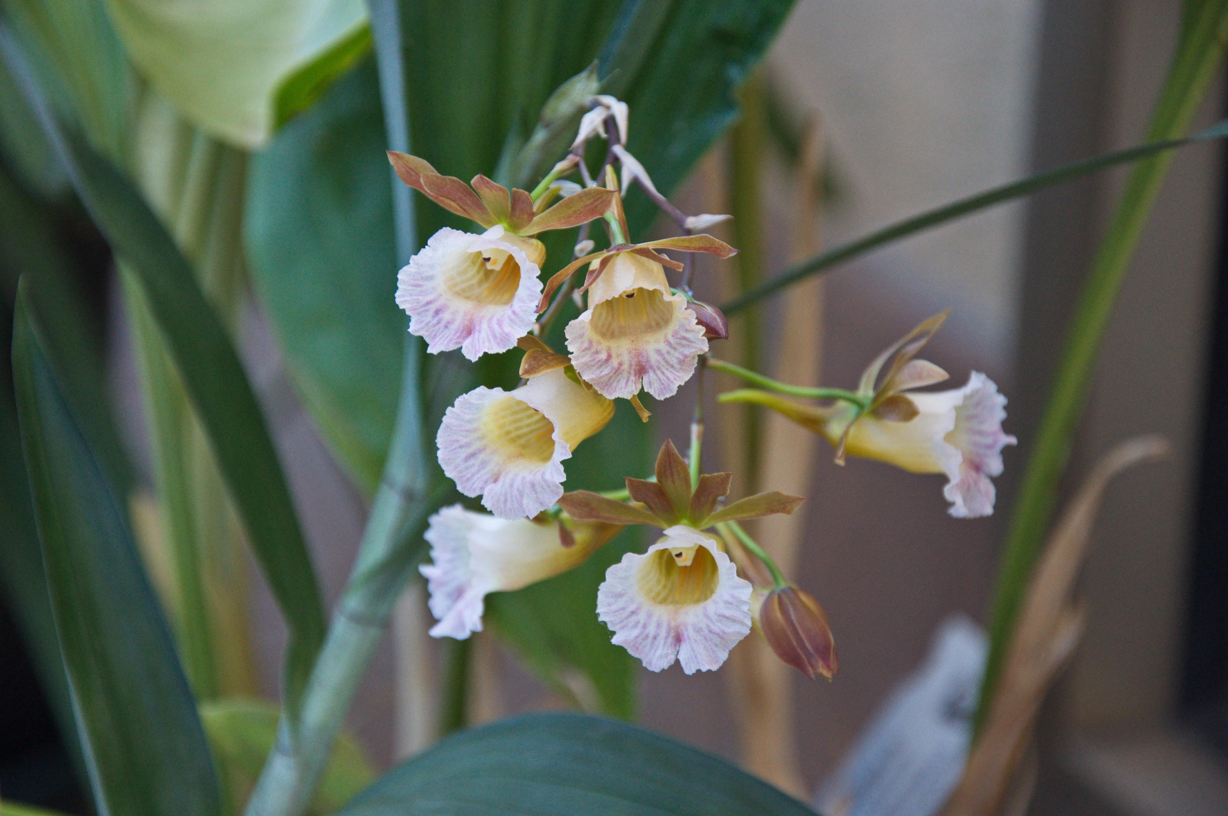 Image of <i>Galeandra bauerii</i>