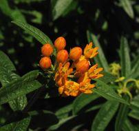 Image of butterfly milkweed