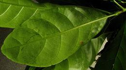 Image of <i>Richeria grandis</i> Vahl