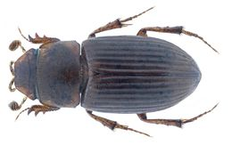Image of <i>Pleuraphodius letabus</i> Landin 1956
