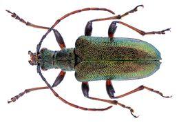 Image of <i>Gaurotes</i> (<i>Paragaurotes</i>) <i>ussuriensis</i> Blessig 1872