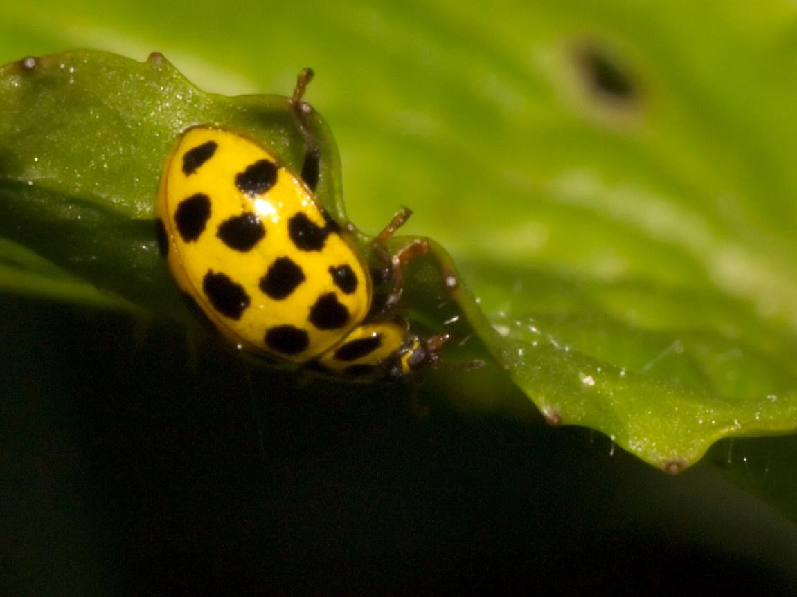 Image of Twenty-two-spot Ladybird