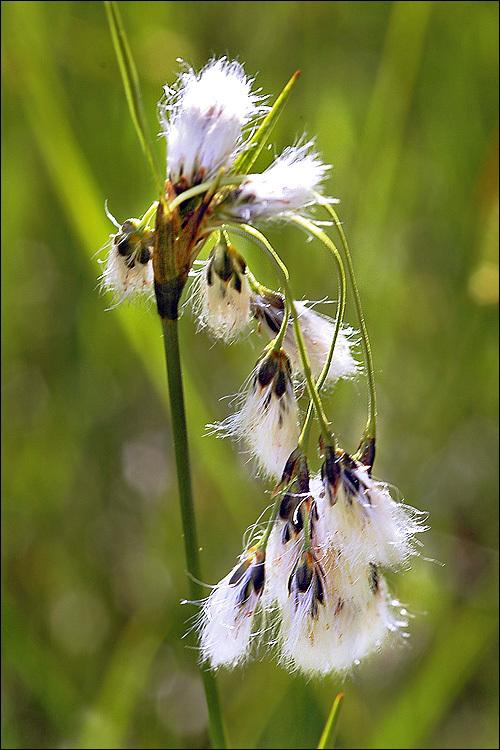 Image of <i>Eriophorum latifolium</i> Hoppe