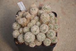 Image of <i>Escobaria runyonii</i>