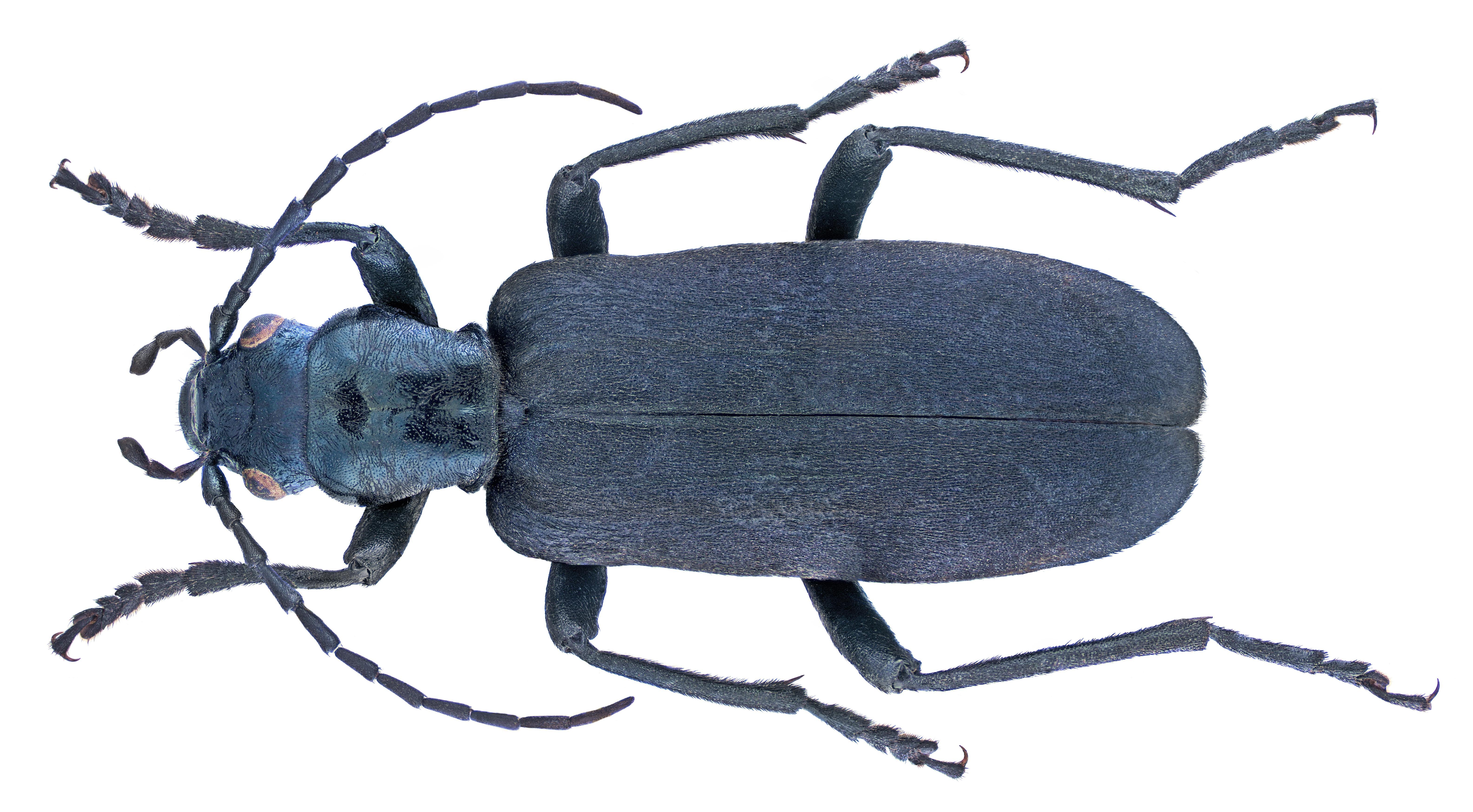 Image of <i>Ditylus laevis</i> (Fabricius 1787) Fabricius 1787