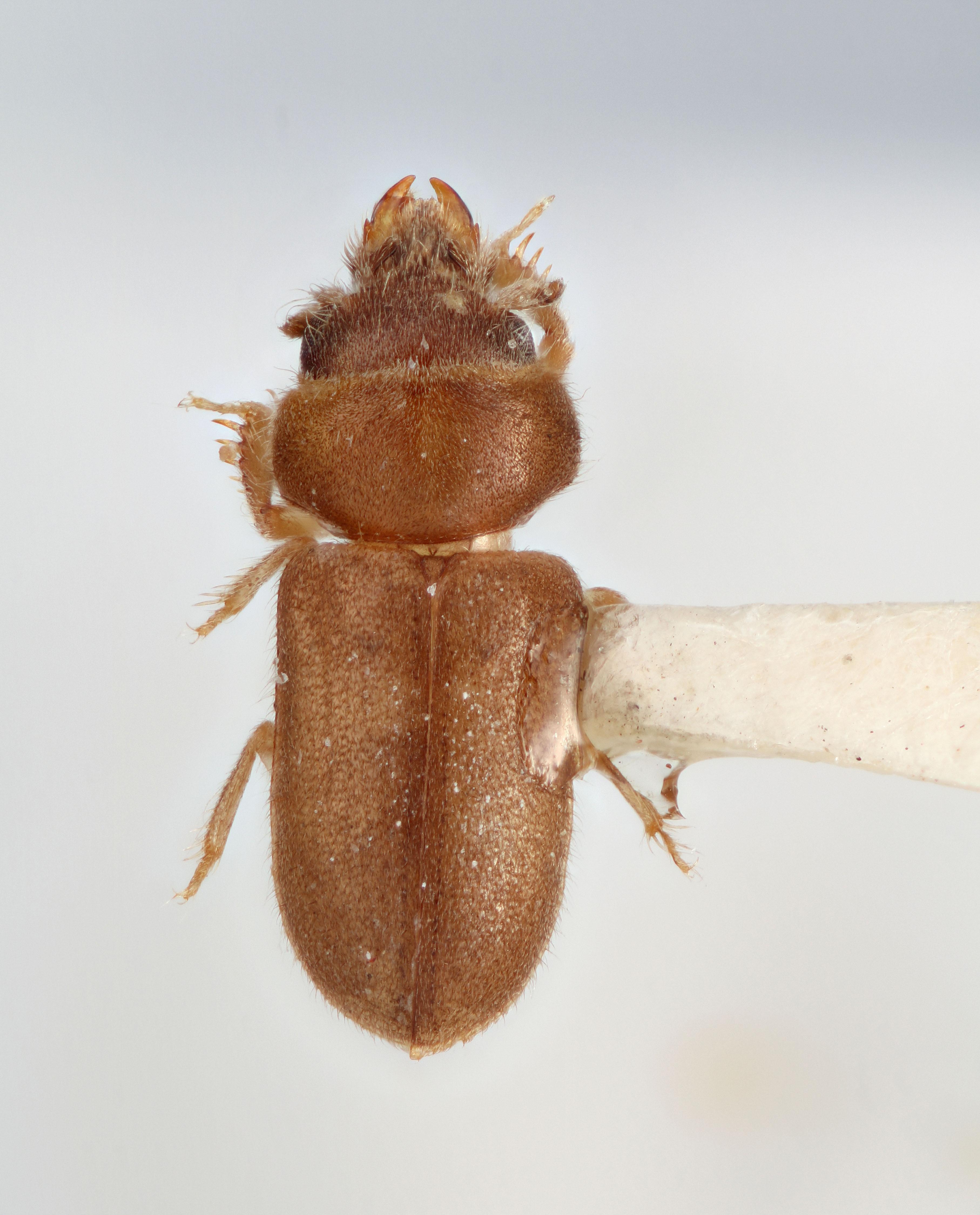 Image of <i>Tropicus braziliensis</i> Skalicky 2006