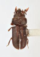 Image of <i>Tropicus borysi</i> Skalicky 2006