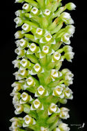 Image of White Featherduster Orchid