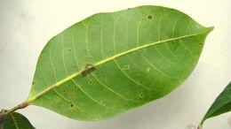 Image of <i>Protium icicariba</i> (DC.) March.