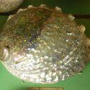 Image of pink abalone