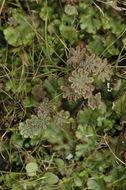Image of common liverwort