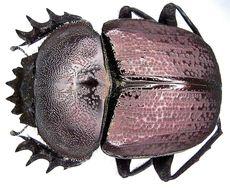 Image of <i>Kheper platynotus</i> (Bates 1888)