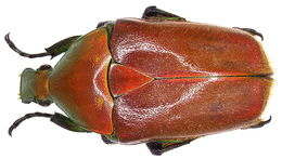 Image of <i>Torynorrhina pilifera</i> (Moser 1914)