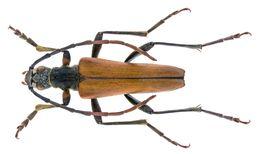 Image of <i>Stenocorus amurensis</i> (Kraatz 1879)