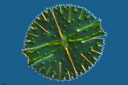 Image of <i>Micrasterias rotata</i>