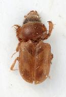 Image of <i>Augyles scharlottae</i> Skalicky 2005
