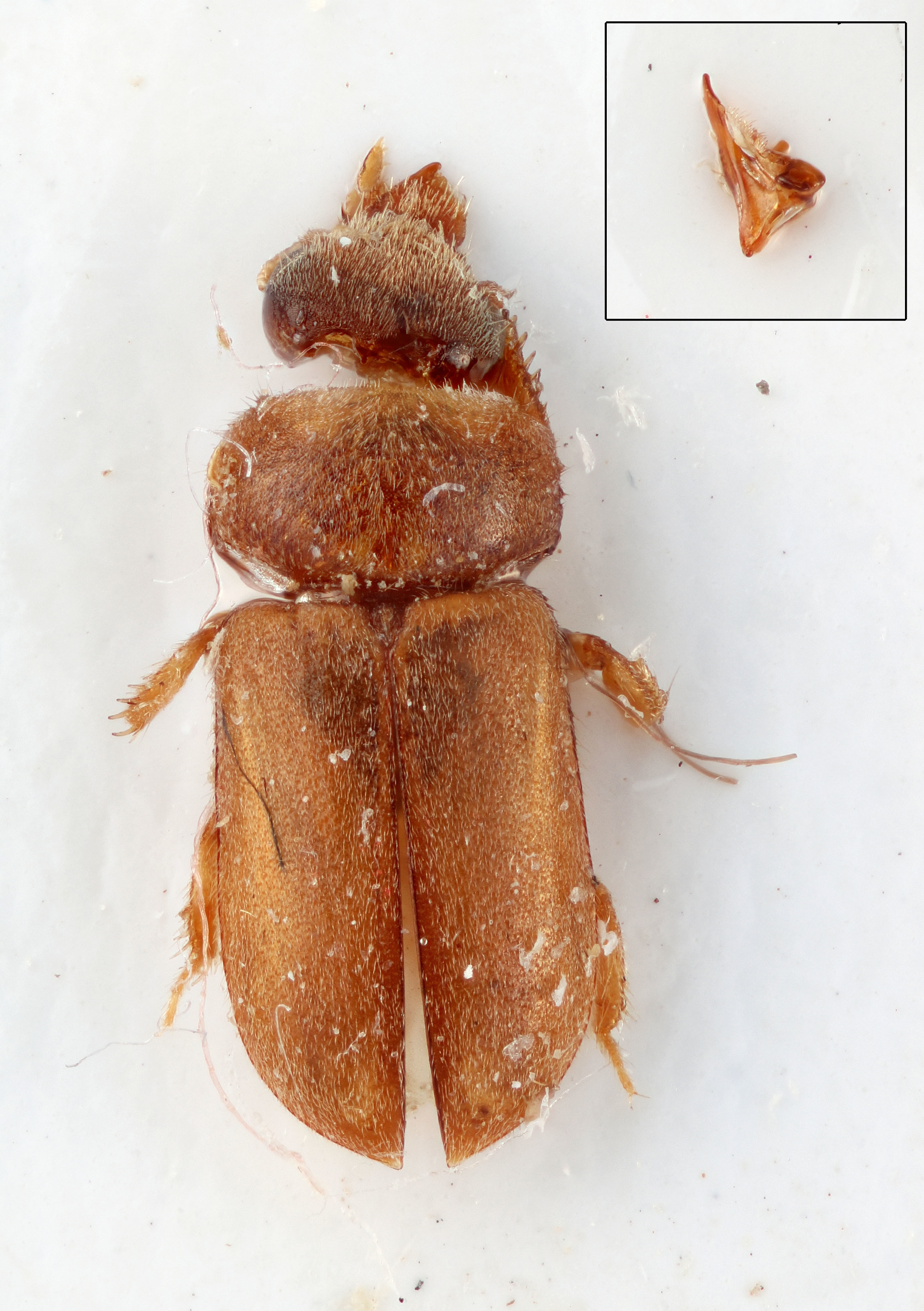 Image of <i>Tropicus huachiensis</i> Skalicky 2006