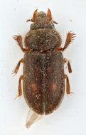 Image of <i>Heterocerus heissi</i> Skalicky 2006