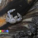 Image of Sea pen crab