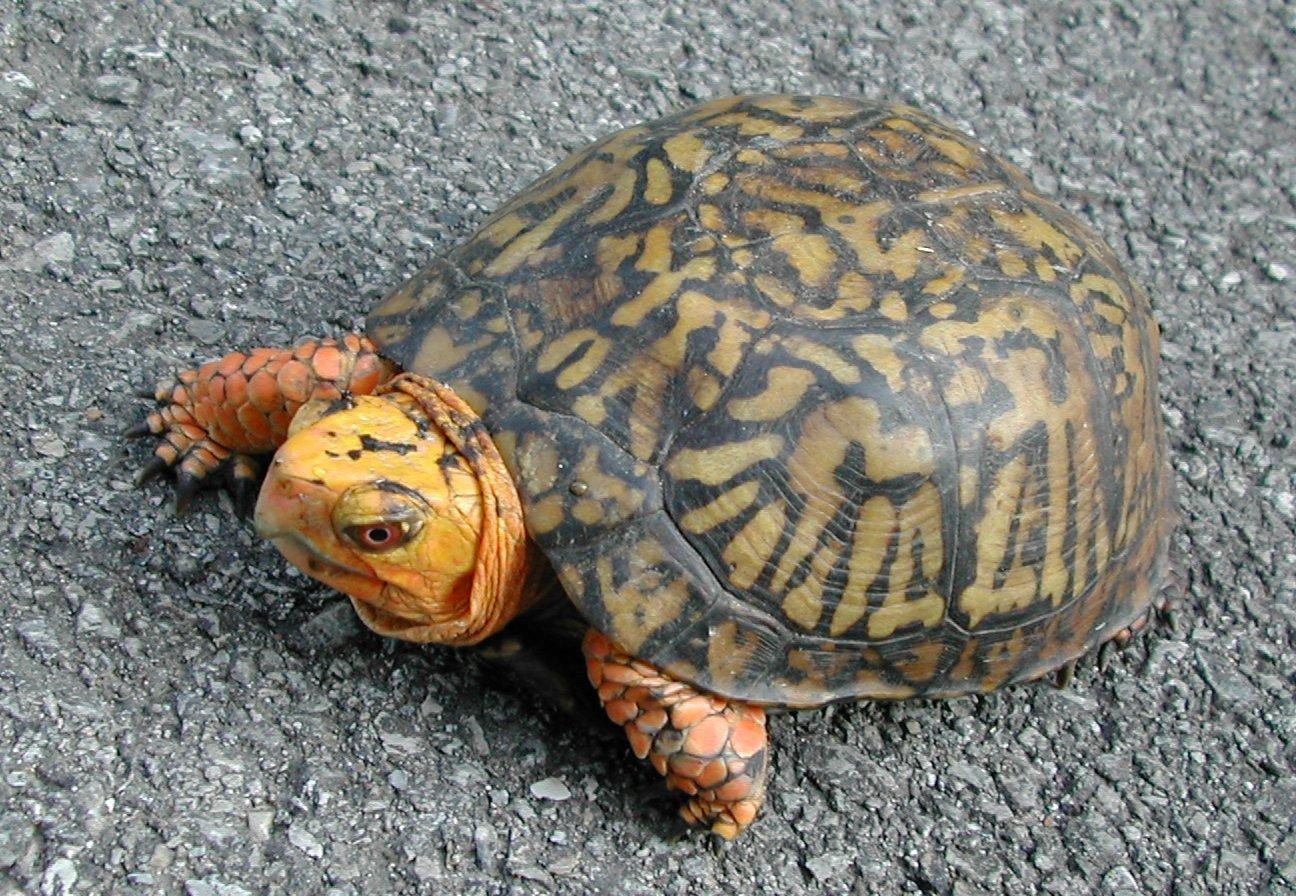 Image of American Box Turtle
