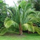Image of Manarano palm