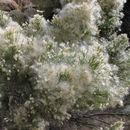 Image of Desert Broom