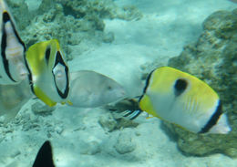 Image of Limespot Butterflyfish
