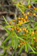 Image of <i>Maytenus silvestris</i>