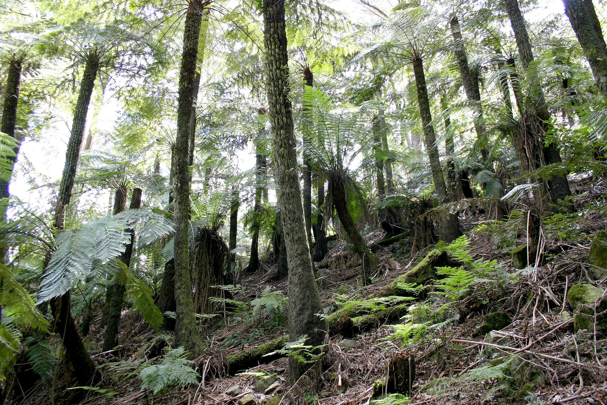 Image of <i>Cyathea australis</i>