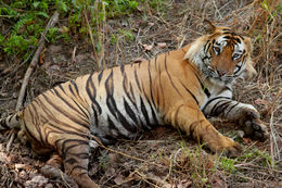 Image of Tiger