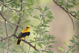 Image of Indian Golden Oriole
