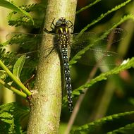 Image of Hairy Hawker