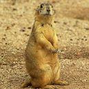 Image of Gunnison's Prairie Dog