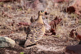 Image of Painted Sandgrouse