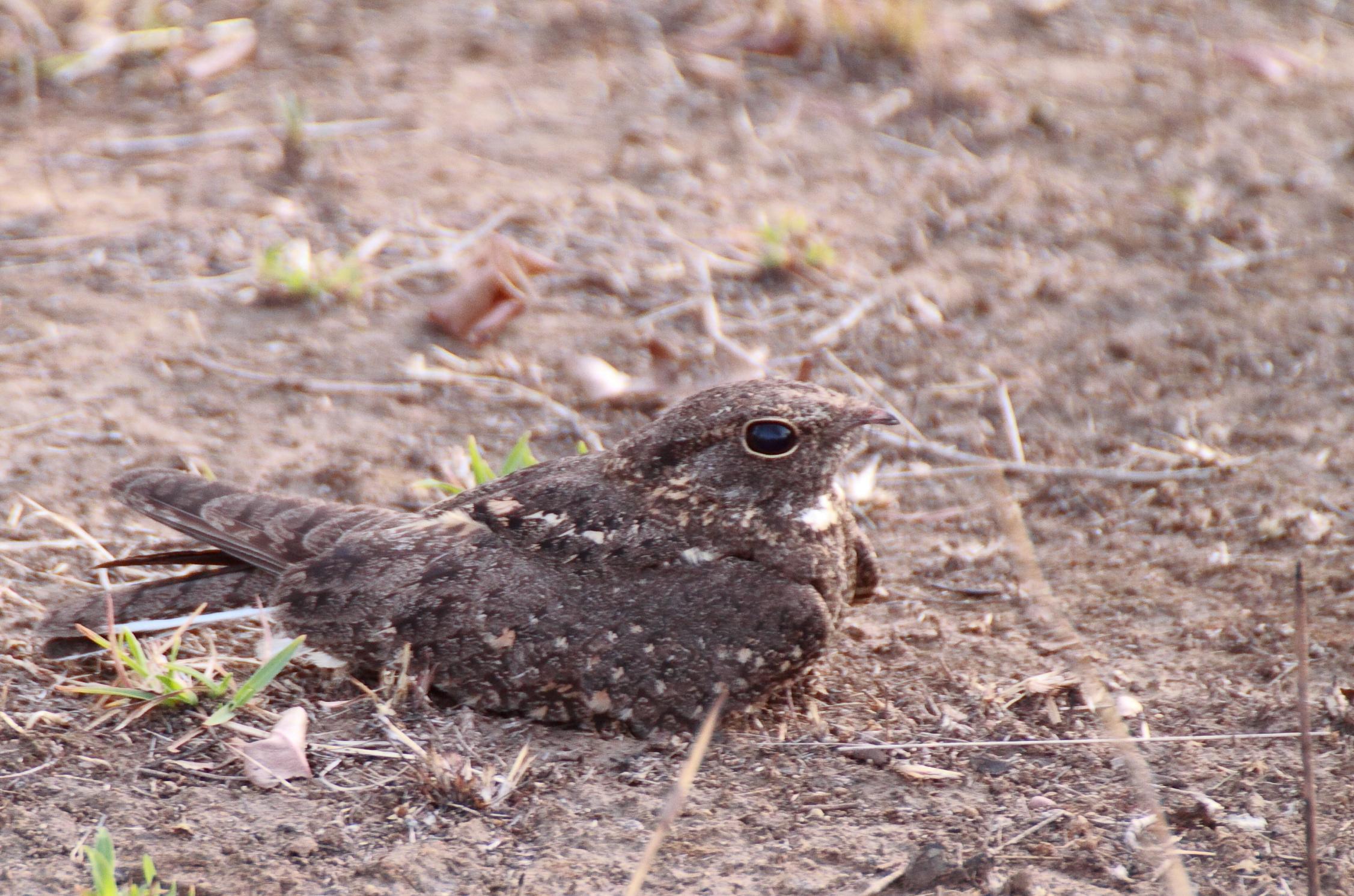 Image of Savanna Nightjar