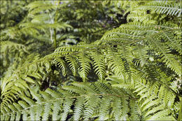 Image of Eastern brakenfern