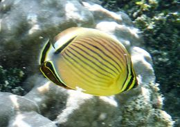 Image of Oval Butterflyfish