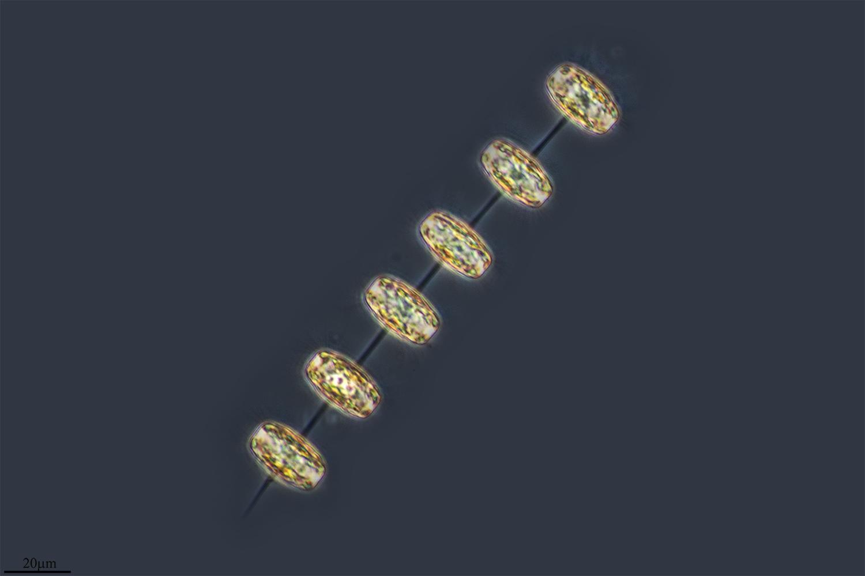 Image of <i>Thalassiosira rotula</i>