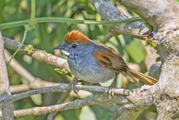 Image of Dark-breasted Spinetail