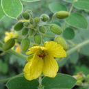 Image of velvet leaf senna