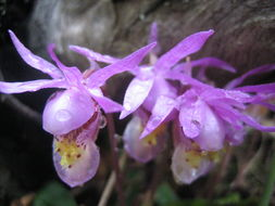 Image of Calypso Orchid