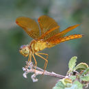 Image of Mexican Amberwing