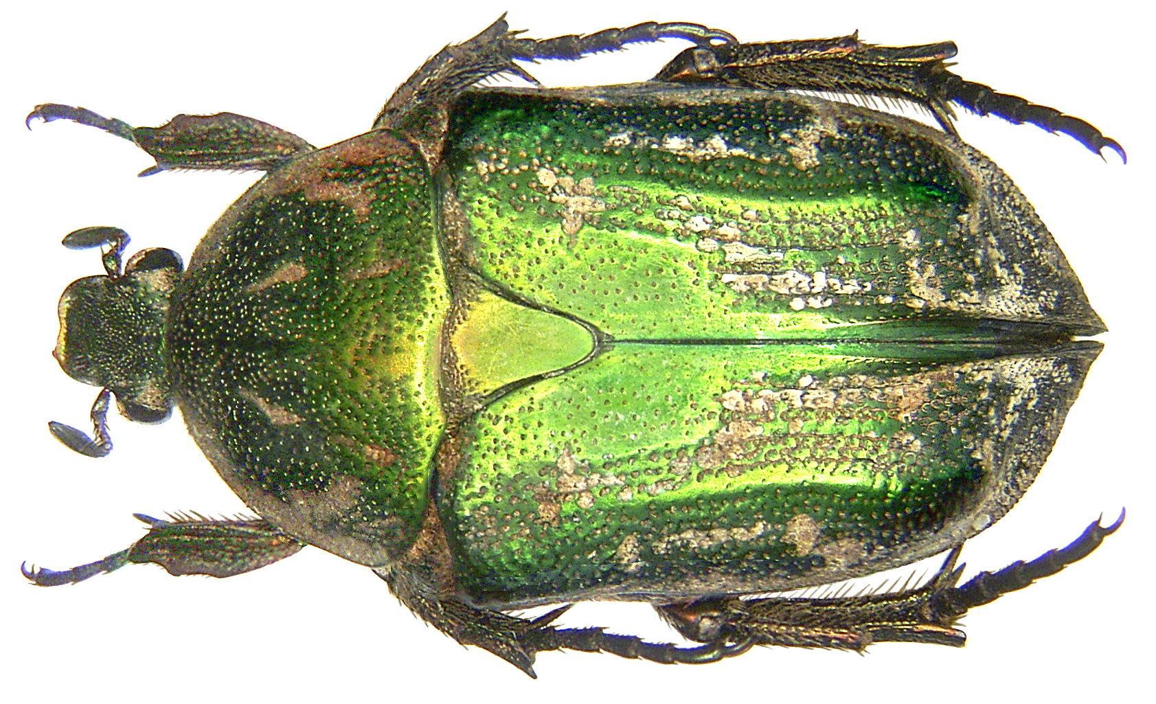 Image of <i>Protaetia</i> (<i>Netociomima</i>) <i>prolongata</i> (Gory & Percheron 1833)