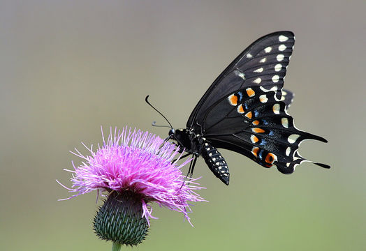 Image of Black Swallowtail